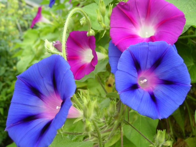 purple and crimson blooms of morning glory